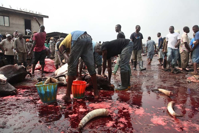 Butchers at Work in a Abattoir Popularly Known as Slaughter House in Nigeria